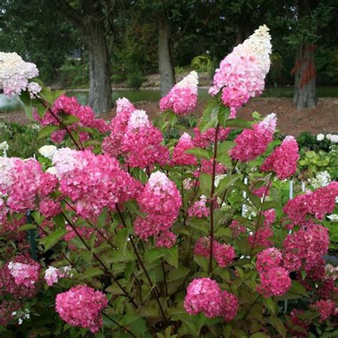 hortensie wims hydrangea paniculata fraise melba 174 tous les hydrangea