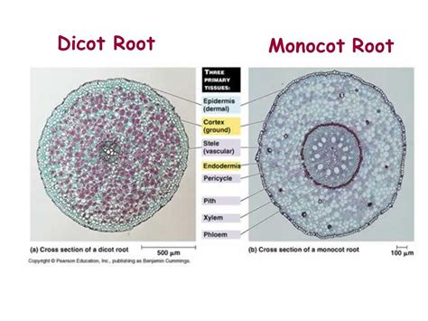 dicot cross section plants ppt video online download