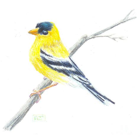 how to draw a goldfinch how to draw eastern goldfinch