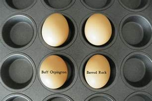 buff orpington egg color pics for gt buff orpington eggs color