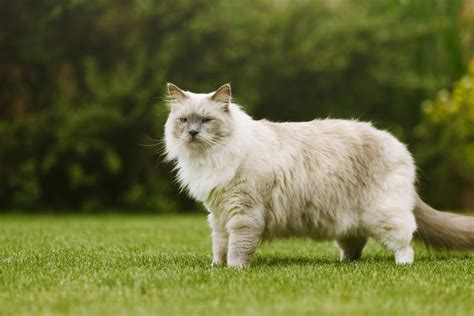 ragdoll 10kg top 7 largest cat breeds choosing the right cat for you