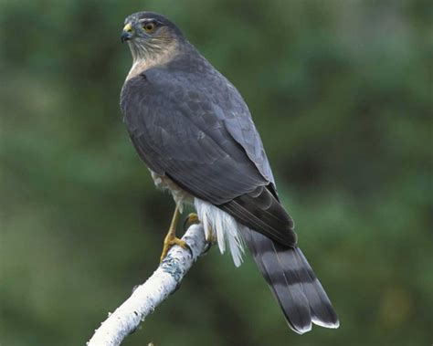 sharp shinned hawk sharp shinned hawk audubon field guide
