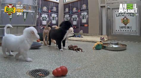 puppy bowl locker room sneak peak at the puppy bowl locker room