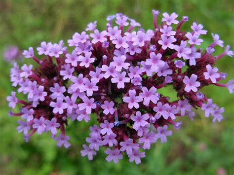 fior di verbena verbena cura dei fiori delle piante d appartamento e