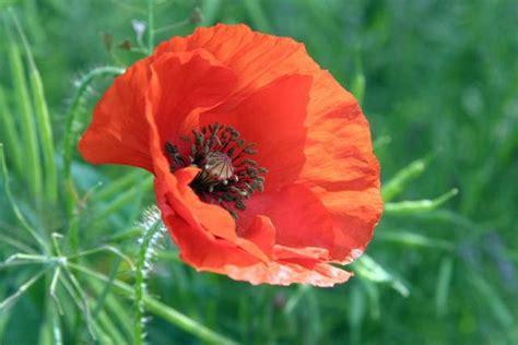 orange poppy flower jpg