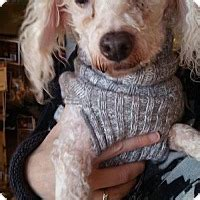 indiana poodle rescue groups indianapolis in poodle miniature meet nick a for