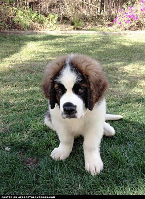 st bernard puppies ohio 42 best images about bernard puppies on bernard puppies st