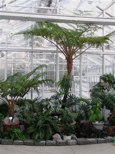 Center Table Decoration Home eric s pet plant australian tree fern cyathea cooperi