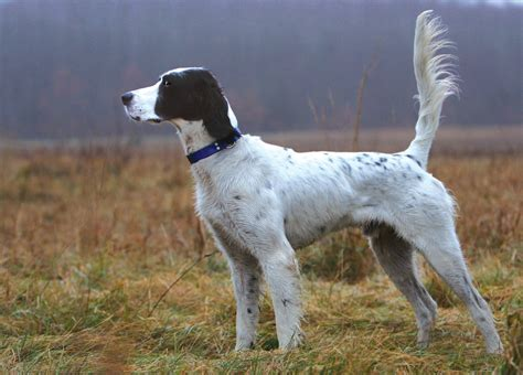 English Setter Dog Pictures | english setter dog justadogg