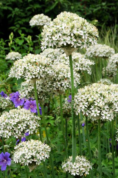 buy ornamental onion bulbs allium nigrum