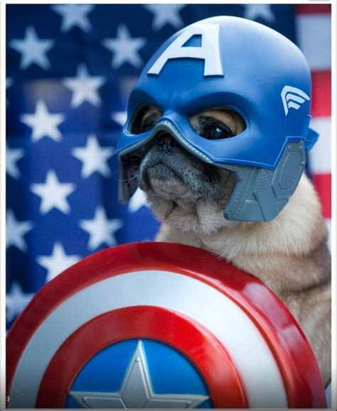 captain america pug 183 best images about pugs on