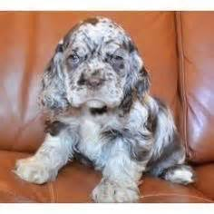 docker puppies docker breed info eventual puppy spaniels dachshund and dogs