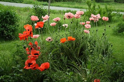 Poppy Flower Garden Sesshyswind Images In Anticipation Of Hd Wallpaper And Background Photos 29540089