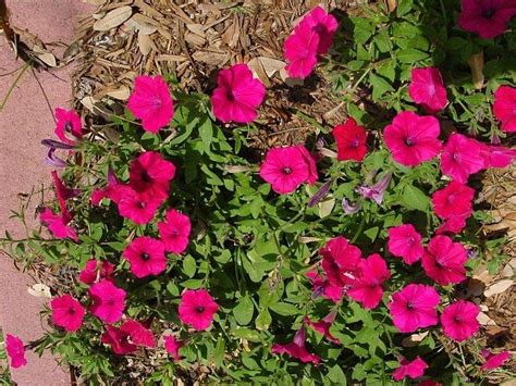 plantfiles pictures petunia trailing petunia tidal wave cherry petunia by htop