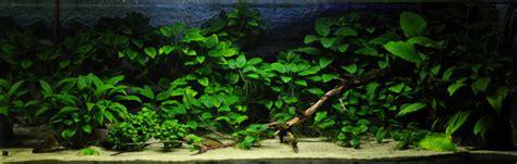 aquascape anubias top 6 benefits of aquatic plants in the aquarium
