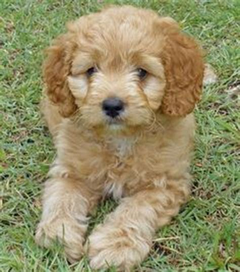 half golden retriever half wiener for sale 1000 images about doggies on poodle mix cocker spaniel poodle mix and