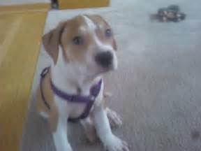 Is my puppy a standard american bulldog pitbull or mix
