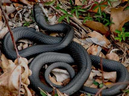 what is the gestation period for a what does a black rat snake look like
