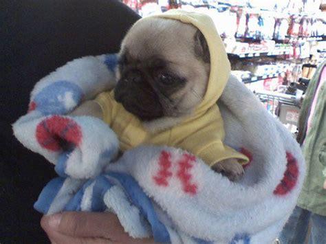 pug in a onesie pug in a onesie
