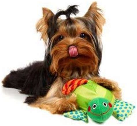 yorkie throwing up yorkie health problems terrier information center