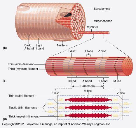 striated cell diagram fiber diagram fiber cell myofibril