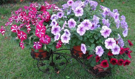 petunias cultivate yourself upon sunny windowsill 187 spain info