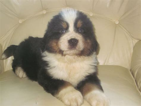 bernese mountain dogs for sale bernese mountain puppy for sale carmarthen carmarthenshire pets4homes