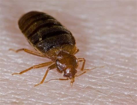 bed bug hotel 7 amazing tips to avoid hotel bed bugs the travelers zone