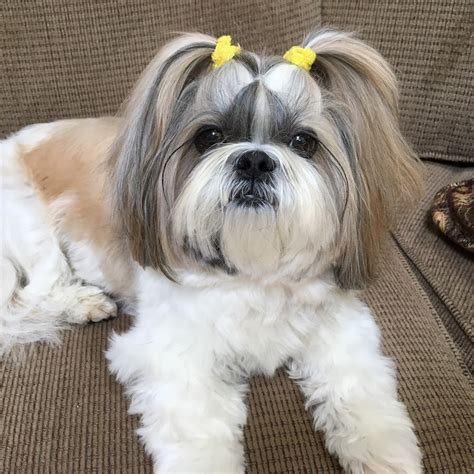 shih tzu breed description information history  overview