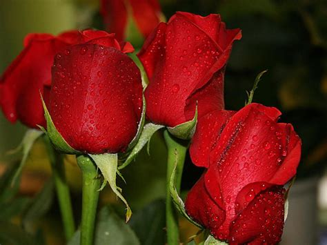 roses are pictures world beautiful wallpaper 1024 215 768