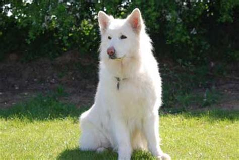 all white german shepherd white german shepherds 18 easy facts and info
