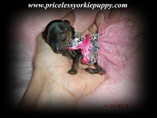 yorkie breeders michigan 17 best ideas about yorkie breeders on yorkie puppies yorkie and