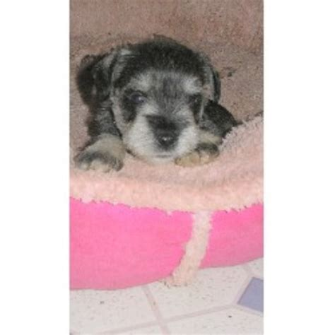 standard schnauzer puppies for sale in ga monticellominis miniature schnauzer breeder in monticello listing id 15585