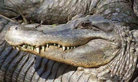 perbedaan buaya alligator caiman dan gharial info