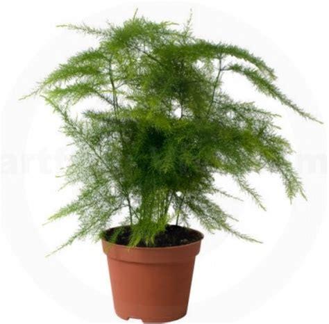 Tanaman Daun Asparagus Plumosus tanaman asparagus fern jual tanaman hias