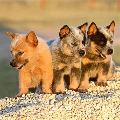 blue heeler puppies michigan roses are and blue heeler puppies are awesome