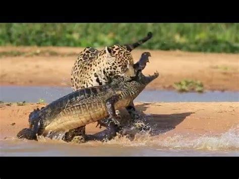 jaguar hunts crocodile jaguar attacks caiman crocodile up footage