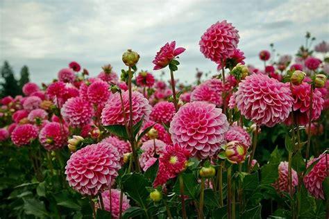 dalia fiore significato dalia dahlia dahlia bulbi dalia dahlia bulbi