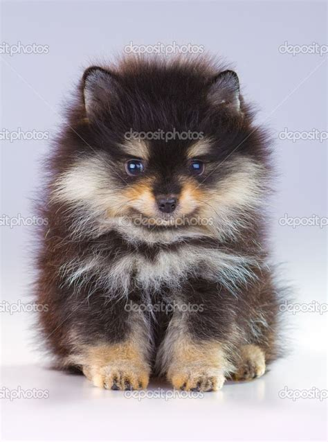 how is a pomeranian 12 minutes pomeranian puppy zoeken adorable animals adorable animals
