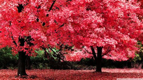 Autumn Pink pink autumn foliage wallpaper 1920x1080
