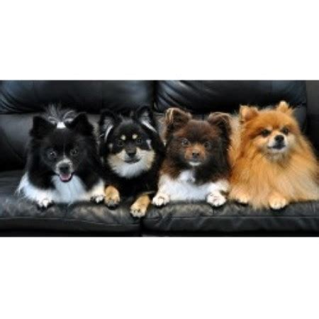 pomeranian rescue sc car poms pomeranian breeder in columbia south carolina