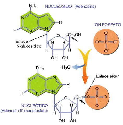 ester fosforico enlace n glucos 237 dico lidia con la qu 237 mica
