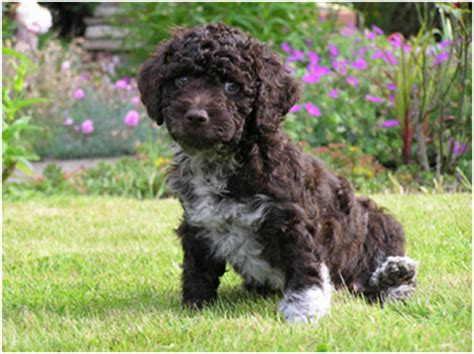 water spaniel puppies water spaniel water spaniel purebred dogs and