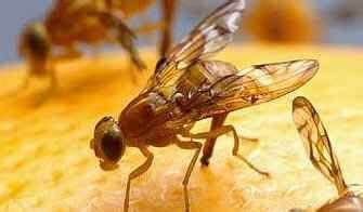 fruit fly infestation in bathroom small flies in bathroom sink my web value