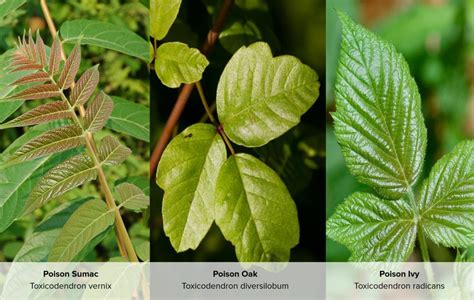 images of poison oak poison sumac rash symptoms causes treatment and