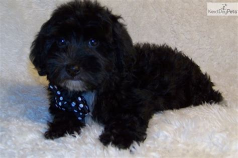 yorkie poo puppies for sale in michigan grown yorkie dogs breeds picture