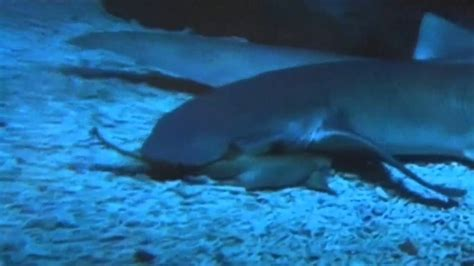 baby shark natal baby nurse shark birth captured on camera youtube