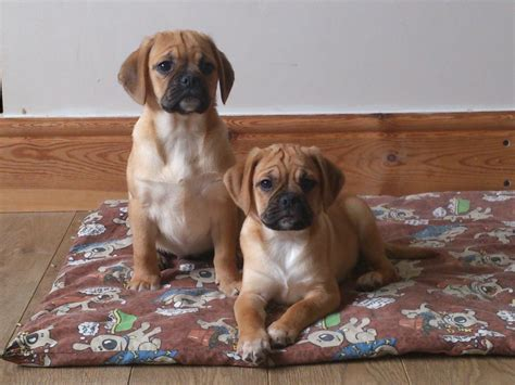 pug and beagle puppies puggle puppies for sale pug x beagle carmarthen carmarthenshire pets4homes