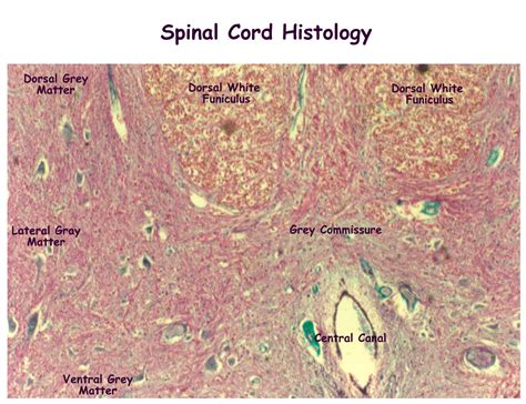 spinal cord section cross section of spinal cord labeled human anatomy
