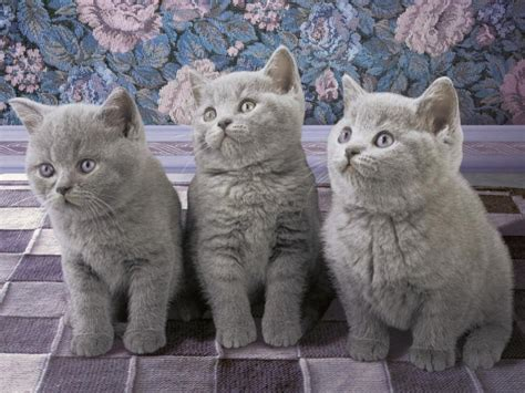 130 Cats Is Way Many by Fluffy Grey Cat Www Pixshark Images Galleries With